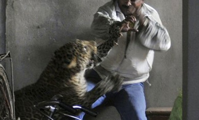 Wild leopard scalps the head of a man in an attack after entering a housing complex in Gawahati