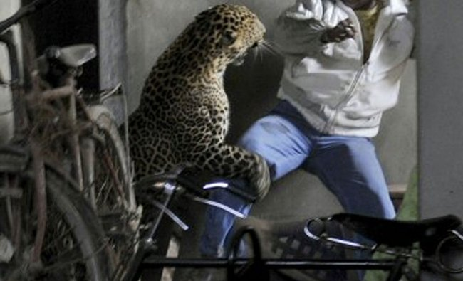 Leopard attacks a man in Gawahati. It was captured after it injured four in a residential complex