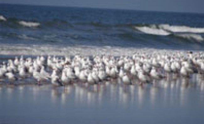 Flock of seagulls resting on Bhogwe Beach in Maharashtra.