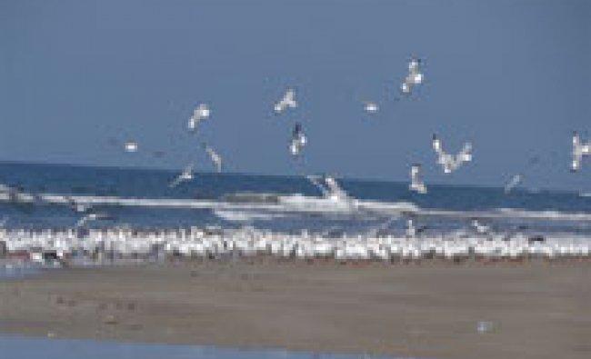 Flock of seagulls at Bhogwe Beach, Maharashtra.