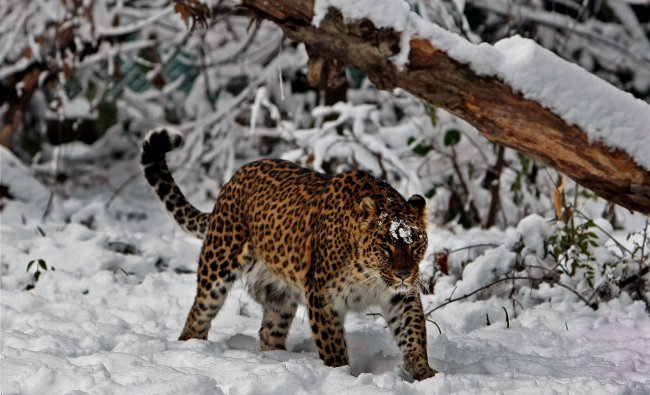 A leopard walks on snow inside enclosure at Dachigam zoo