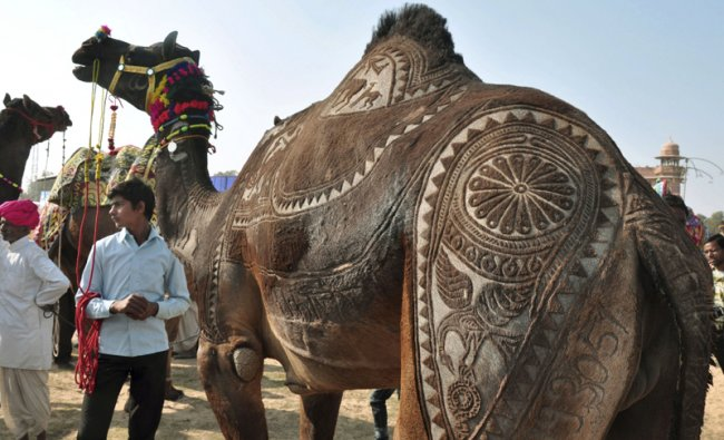 A camel waits to participate in the camel haircut competition