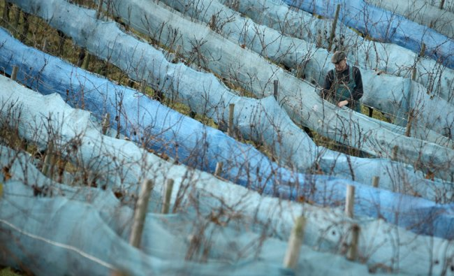 Wine-grower controls his pinot gris ice wine grapes