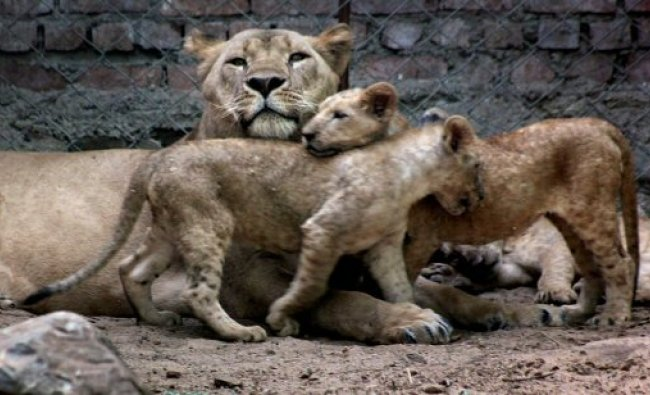 Shobha, a seven-year old lioness with her newly born cubs...