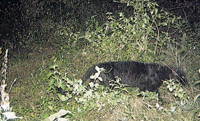Black panther sightedfor first time inKaziranga