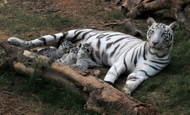 A white tiger feeds her cubs in an enclosure at Assam State Zoo
