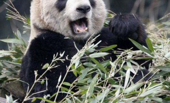 Panda Er Shun eats bamboo at the Panda House at the Chongqing Zoo
