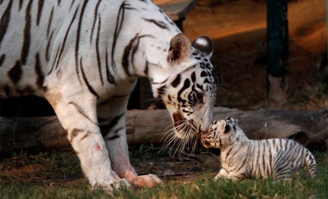 A white tigress plays with her newborn cub at the state zoological park in Guwahati