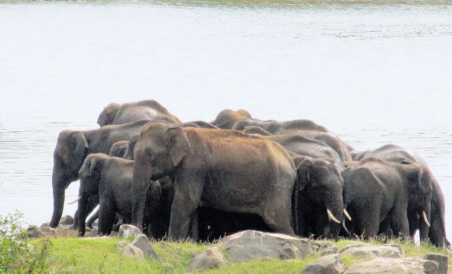 A herd of elephants was spotted near Chikkahole