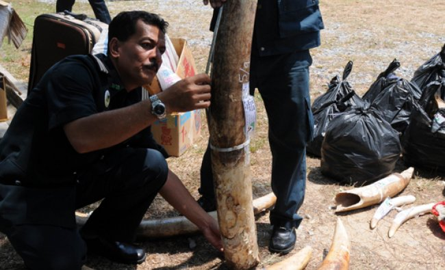 Malaysian Department of Wildlife and National Parks officers display confiscated African ivory