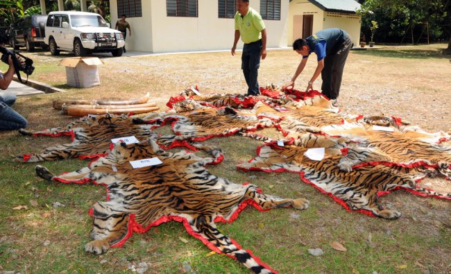 Confiscated tiger skins by Malaysian Department of Wildlife and National Park