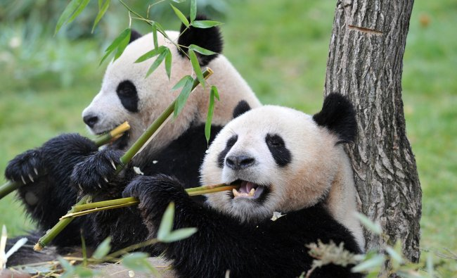 The two giant pandas recently arrived from China