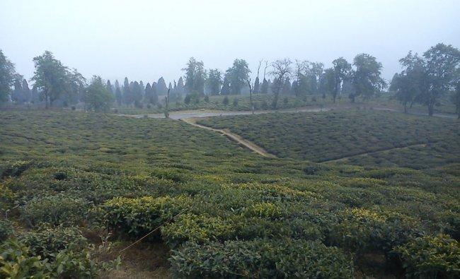 Temi tea garden, South Sikkim