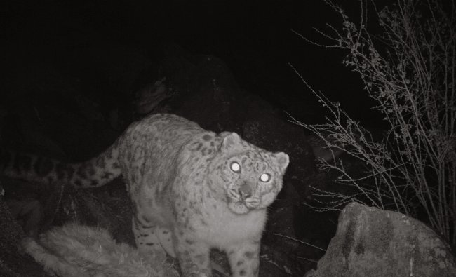 Pantheria Uncia or snow leopard is photographed by an infrared remote camera