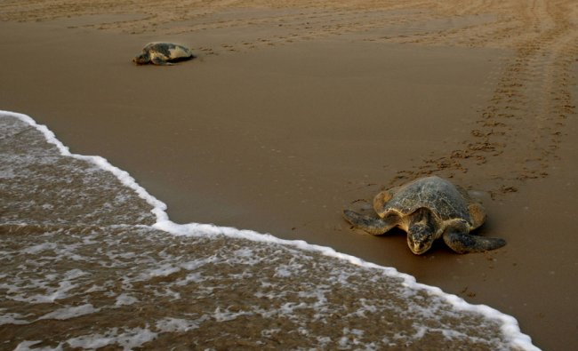 An Olive Ridley turtle enters the sea at the Bay of Bengal...