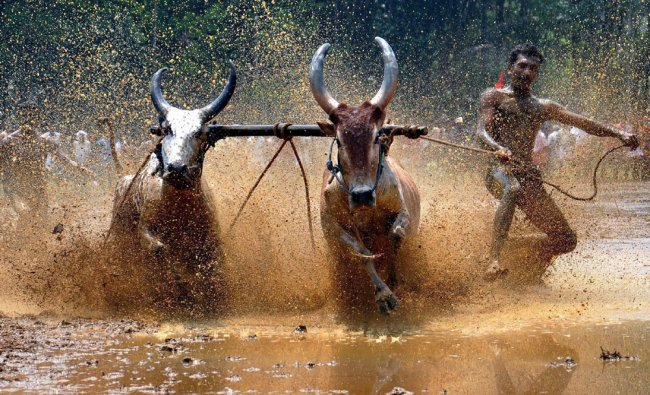 A man races his bulls during Kalavayal
