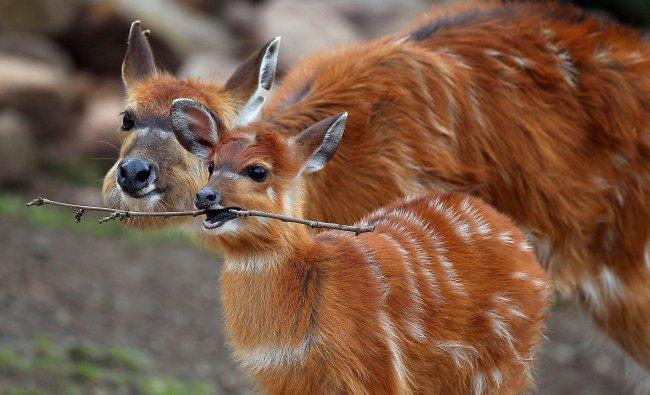 The young Situtunga antelope named Changa