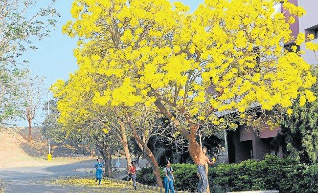 Bountiful beauty, Tabebuiah brings bloom