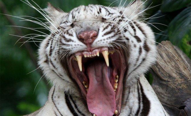A White Bengal tiger yawns at the Dusit Zoo in Bangkok