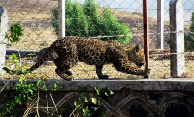A leopard was sighted on a fence in broad day-light near Satara...