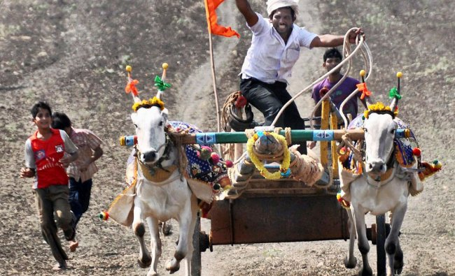 A cart jockey takes part in a bullock cart race competition at Unkal