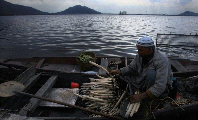 A Kashmiri boatman busy making bundles of lotus stem