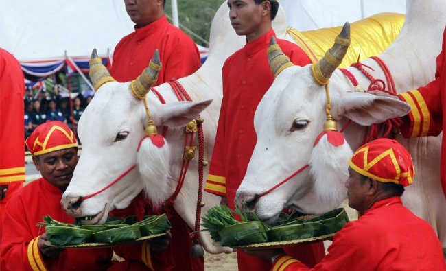 Oxen are presented with a tray of various choices of food by Thai officials in ancient attire