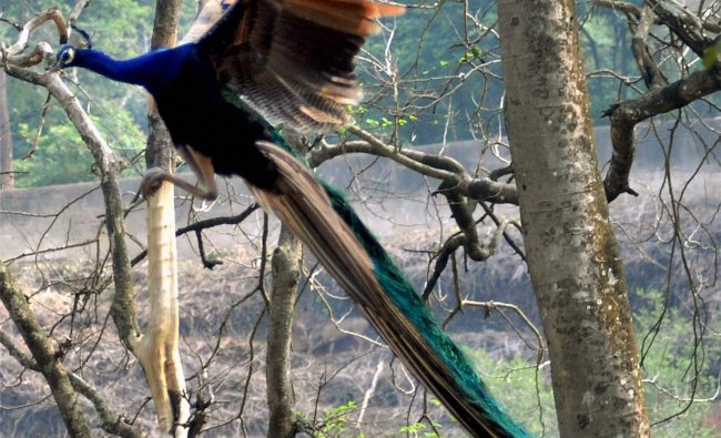 A peacock at Assam State Zoo in Guwahati