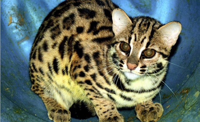Endangered leopard cat which has been added to Arignar Anna Zoological Park