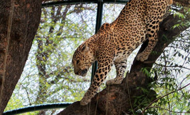 A Cheetah climbs down from a tree at zoo in Jaipur on Thursday...