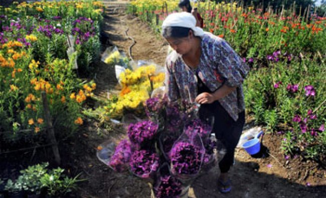 A woman collects flowers at a nursery at Ebiviimei village in Senapati district on Thursday...