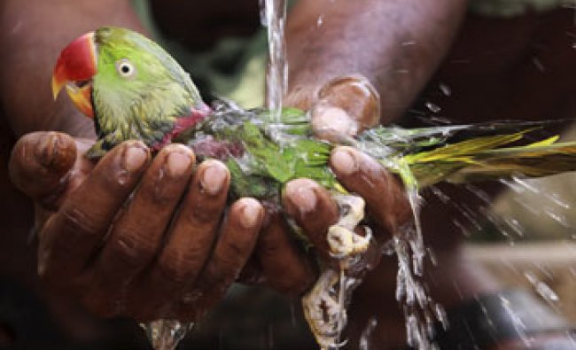 An Indian villager bathes a parrot he rescued on a hot afternoon on the outskirts of Bhubaneswar...