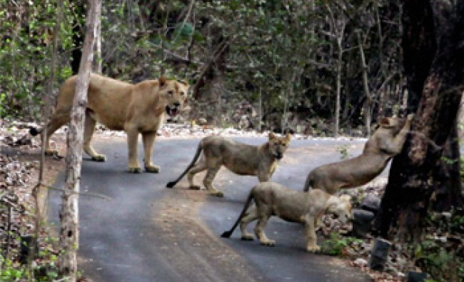 Lioness Shobha roaming freely with her cubs at Sanjay Gandhi National Park in Mumbai...