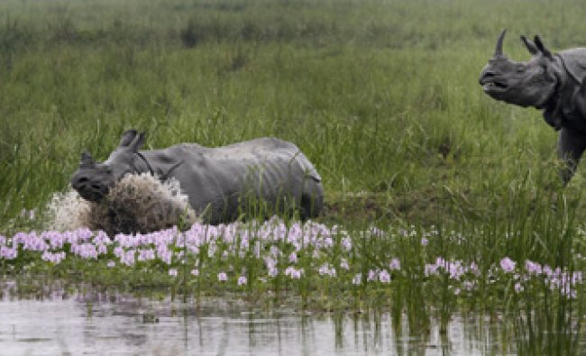 A male, chases a female one- horned rhinoceros at the Pobitora wildlife sanctuary, Gauhati...