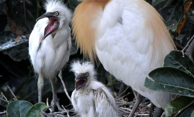 A grey egret with her newborn chicks sits on her nest in the banks of the Brahmaputra...