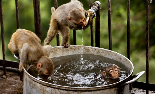 A couple of monkeys quenches their thirst as another takes a dip on a hot summer afternoon...