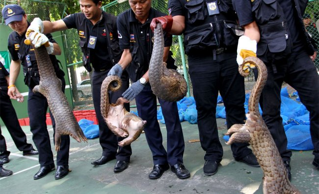 Thai custom officials hold pangolins they have rescued, during a news conference in Bangkok
