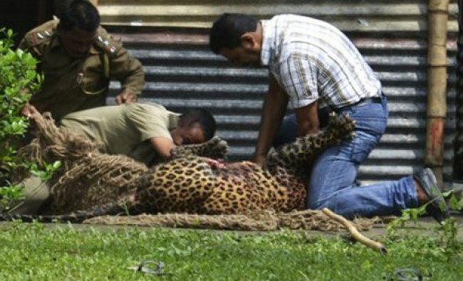 Indian forest officials and a civilian wrestle with a leopard as they catch it in Duliajan