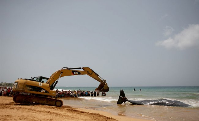 A bulldozer drags the body of a sperm whale out of the water at a beach in Luquillo