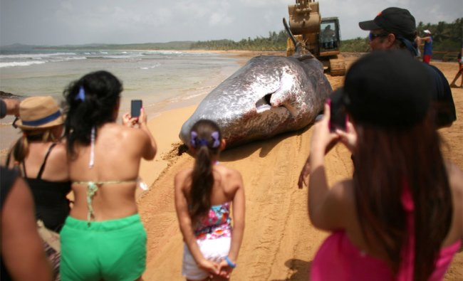 Onlookers take pictures of the body of a sperm whale as it is dragged by a bulldozer at a beach