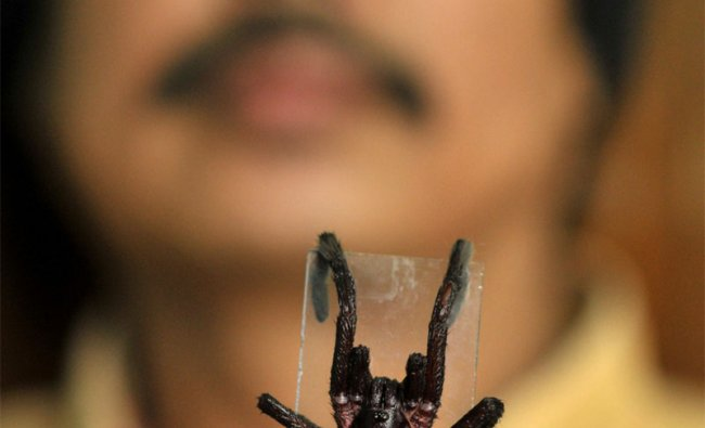Professor Ratul Rajkhowa , holds a dead spider of the species that killed 2 people in Assam