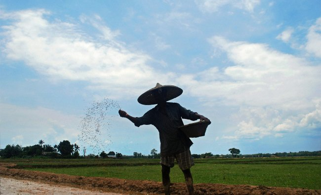 A farmer sowing paddy in a field on the outskirt of Dimapur, Nagaland