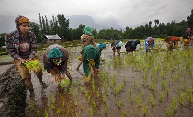 Kashmiri girls sing as they replant paddy seedlings