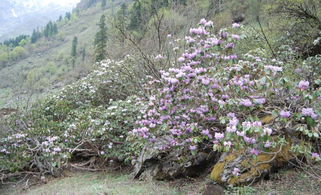 Rhodendrons on the Banderpunch Glacier
