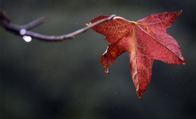 A lone leaf on a liquidambar tree hangs on while most others have fallen on winter day in Sydney