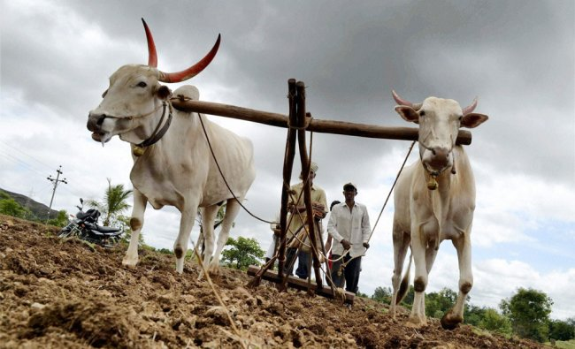 Farmers ploughing a field at Ghogaon village in Karad on Sunday