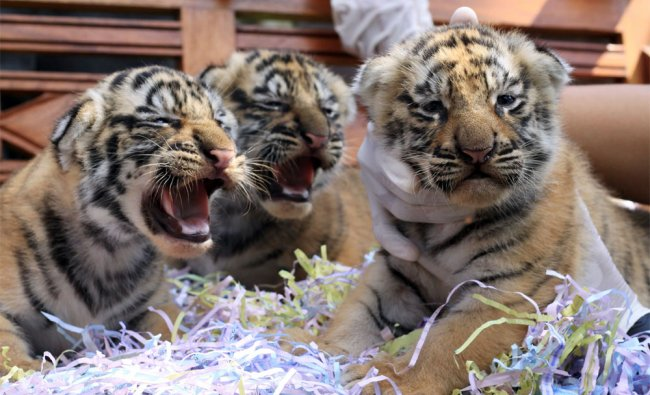 Three-weeks-old tiger cubs sit at a zoo in Gianyar, Bali, Indonesia