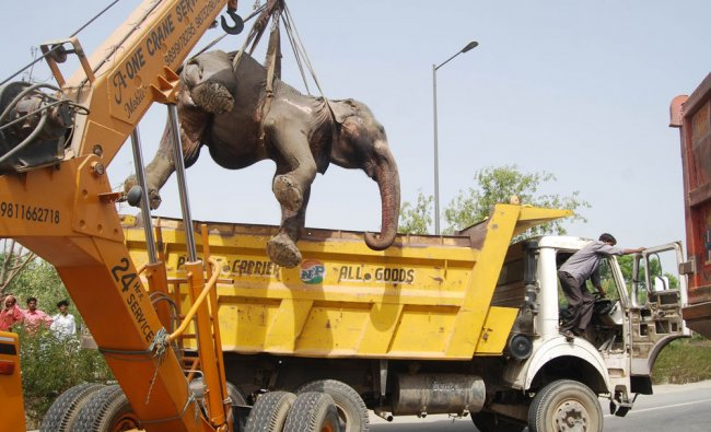 A dead elephant is hoisted off the road after it was hit by a truck on the Noida Expressway