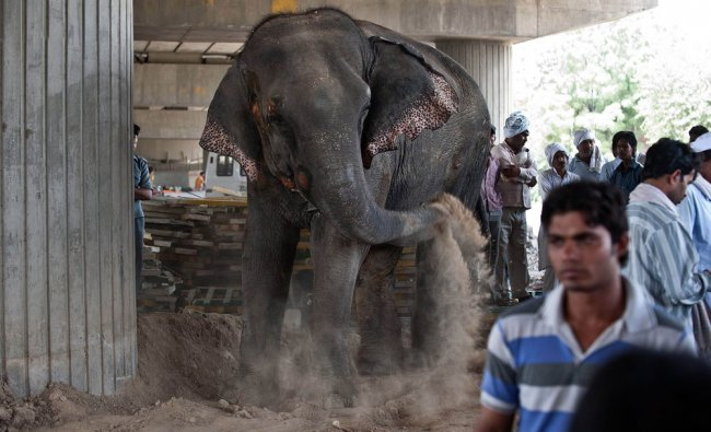 An elephant throws sand on its injuries after it was hit by a truck on the Noida Expressway