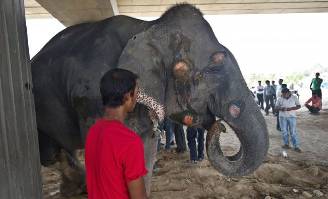 Injury marks are seen on an elephant after it was hit by a truck